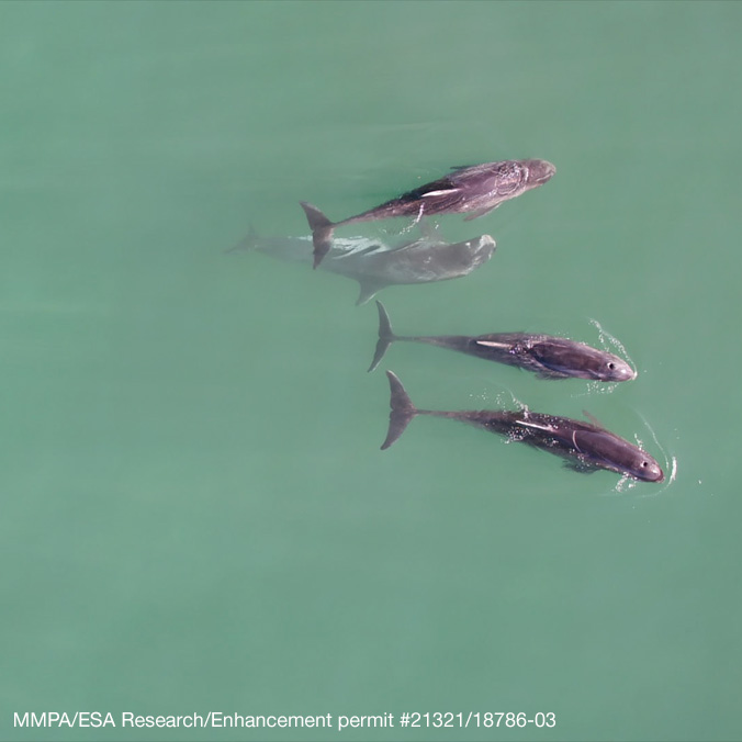 Rare pygmy killer whales' deterioration documented using UH drone tech