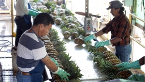 people working with pineapple