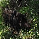 UH  Mānoa part of first nationwide mammal survey