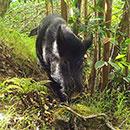 Wild pigs threaten species worldwide; Hawaiʻi hit hard