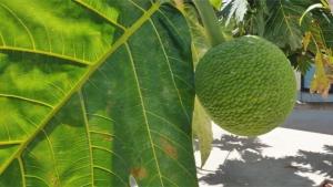 breadfruit on a tree