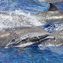 Infectious disease found in Hawaiʻi dolphin could spark mass marine mammal deaths