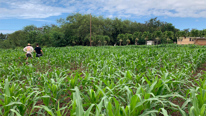 $4M to improve maize breeding, food production