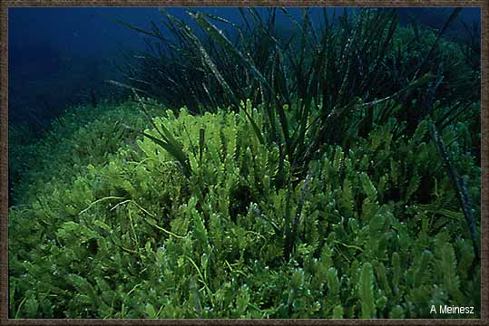 Rising Waters >> Caulerpa taxifolia