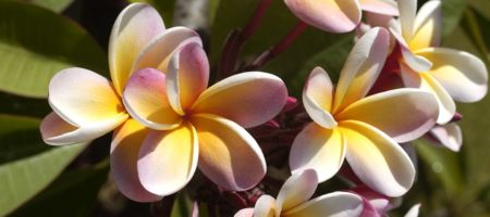 image of plumeria flowers